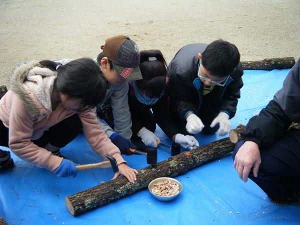 シイタケ原木の菌打ち